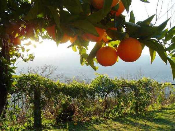 orange-tree1